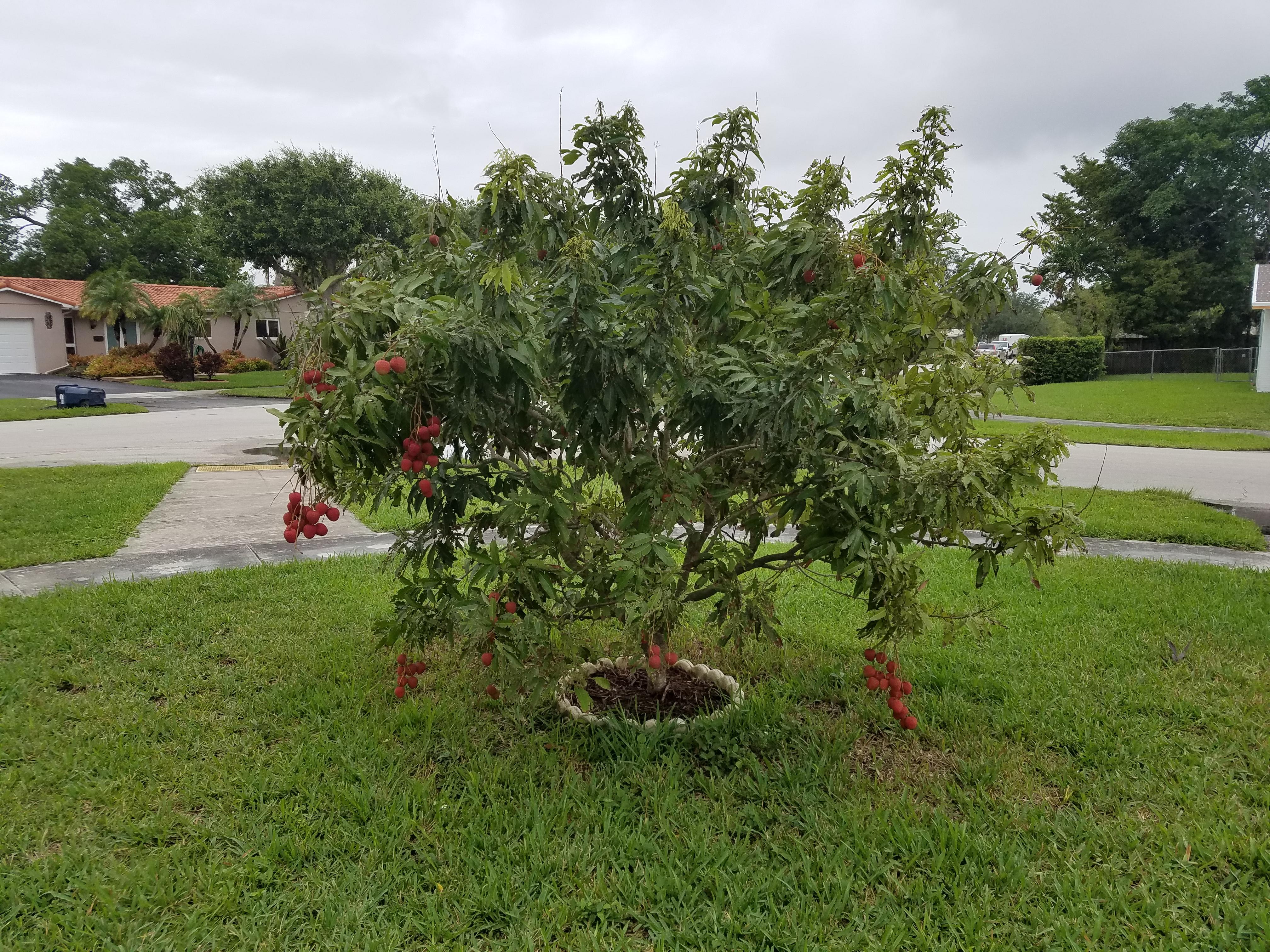 Lychee Tree Year 2